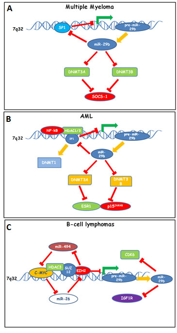 Down-modulation of miR-29b by epigenetic feedback loops sustaining proliferation and survival of