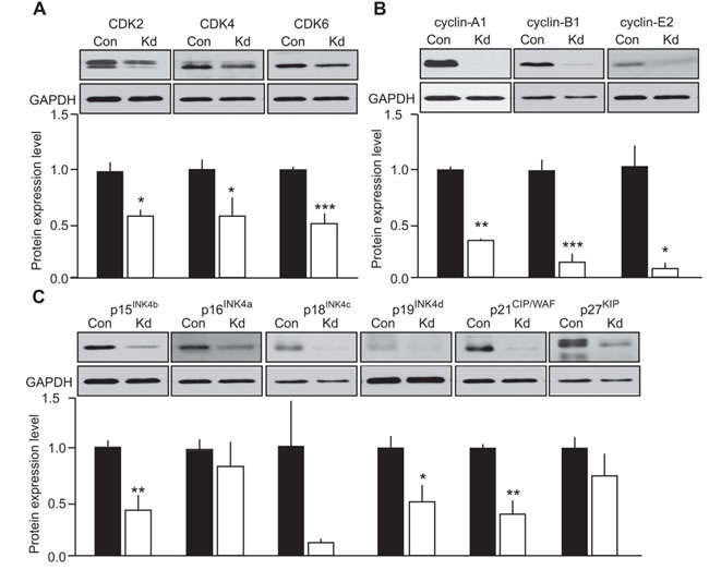 Evaluation of the effect of CDK5 activity on cell cycle protein expression in human MTC cells.