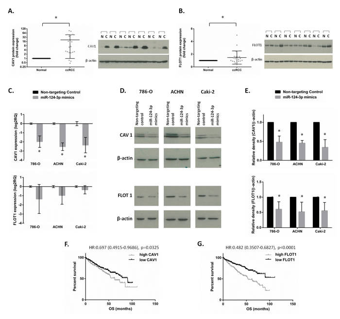 CAV1 and FLOT1 protein expression and association with survival in clinical specimens and validation as miR-124-3p targets.