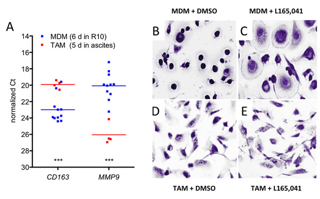 Effects of PPARβ/δ ligands on the morphology of human MDMs and ovarian carcinoma TAMs.