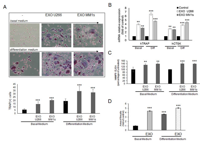 Exosomes produced by multiple myeloma cells induce osteoclast formation in human primary pOCs and promote formation of lacunae on dentine slices.