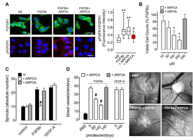 ARPCA inhibits the angiogenic activity of FGF8b.