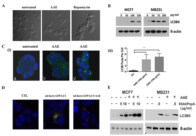 AAE induced autophagic cell death in BrCa cells.