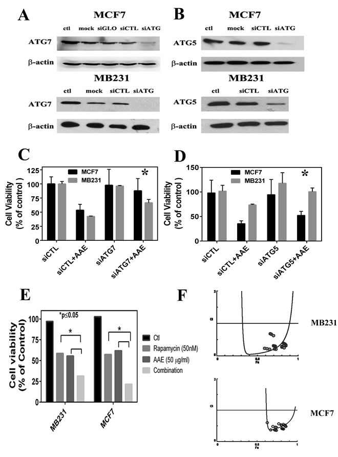 ATG knockdown blocks AAE induced autophagy and cell death.