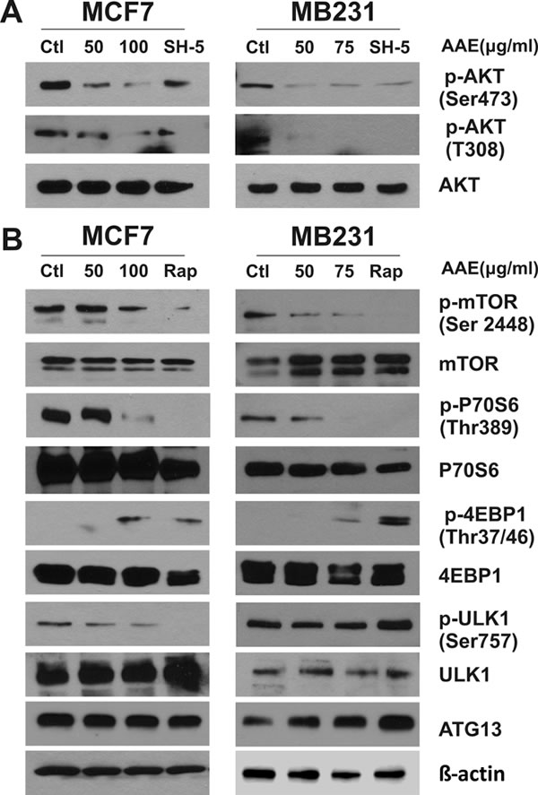 AAE down-regulates the activity of AKT-mTOR signaling pathway leading to autophagy.
