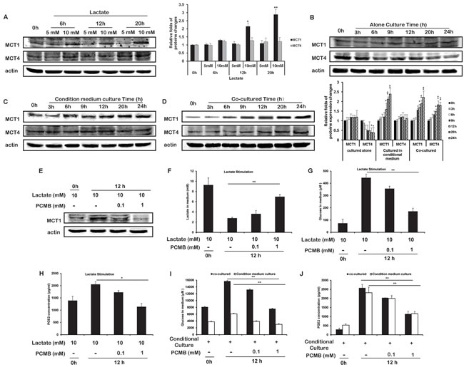 Lactate upregulated the expression of MCT1 in THP-1 monocytes.