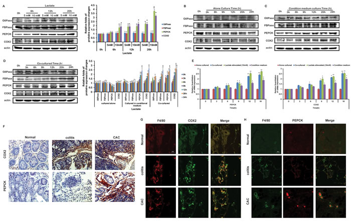 Lactate influenced the protein levels of COX2 and PEPCK in THP-1 monocytes.