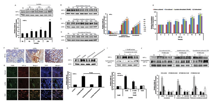 Lactate stabilize HIF-1α of THP-1 monocytes by inhibiting PHD activity under normoxia.