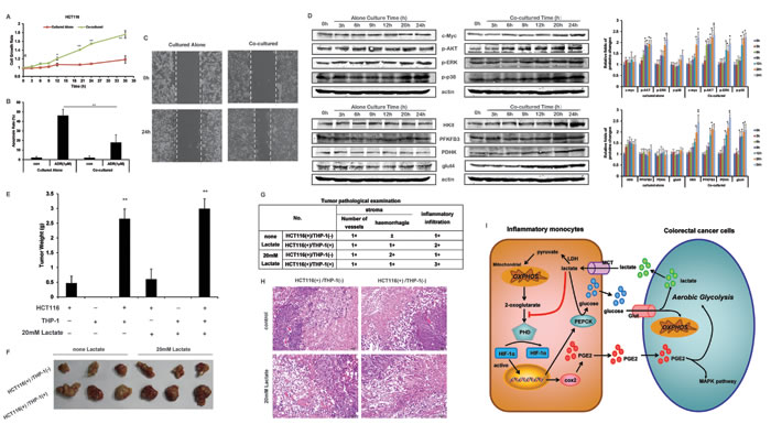 THP-1 monocytes promotes the cell growth of HCT116 cells.