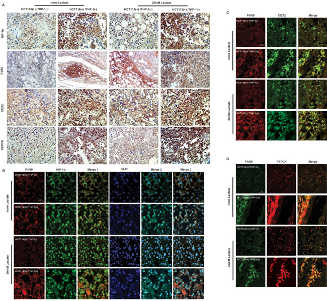 Lactate influences the expressions of HIF-1α, COX2, PEPCK proteins of monocytes in heterotopic transplantation tumor model based on co-culture of HCT116 cells with THP-1 monocytes .