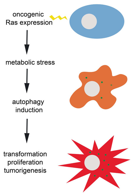 Ras oncogene-induced transformation and tumorigenesis depends on autophagy induction to evade potentially lethal metabolic stress.