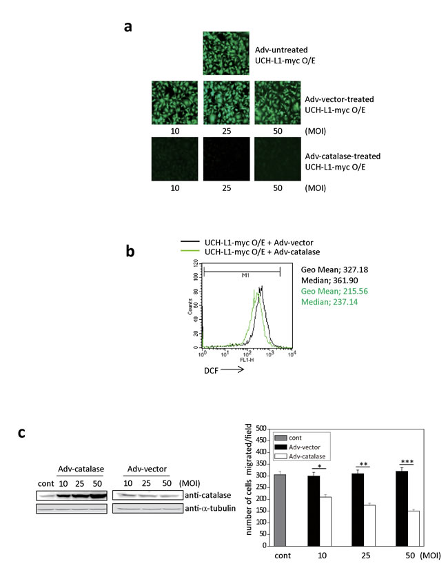 Adv-catalase attenuates the positive effect of UCH-L1 on cell invasion