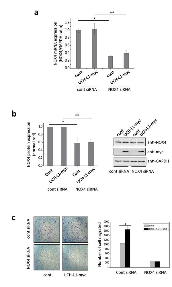 NOX4 siRNA attenuates UCH-L1-mediated H