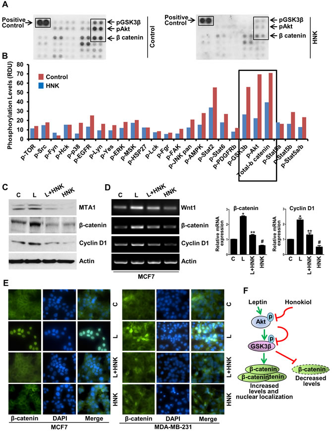 Human phospho-antibody array analyses reveal HNK-induced decreased phosphorylation of key leptin-signaling components and HNK decreases leptin-induced expression and nuclear translocation of β-catenin.