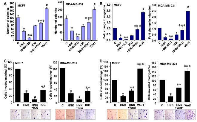Inhibition of β-catenin potentiates while Wnt1 treatment reduces the effect of HNK on invasion and migration potential of breast cancer cells.