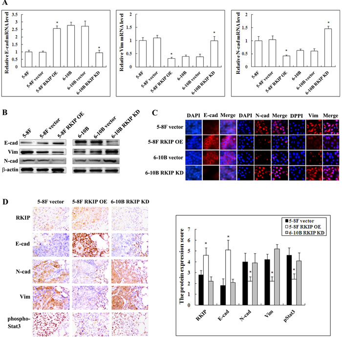 The regulation of RKIP on the expression of EMT-like cellular markers in NPC cells and their xenograft metastases.