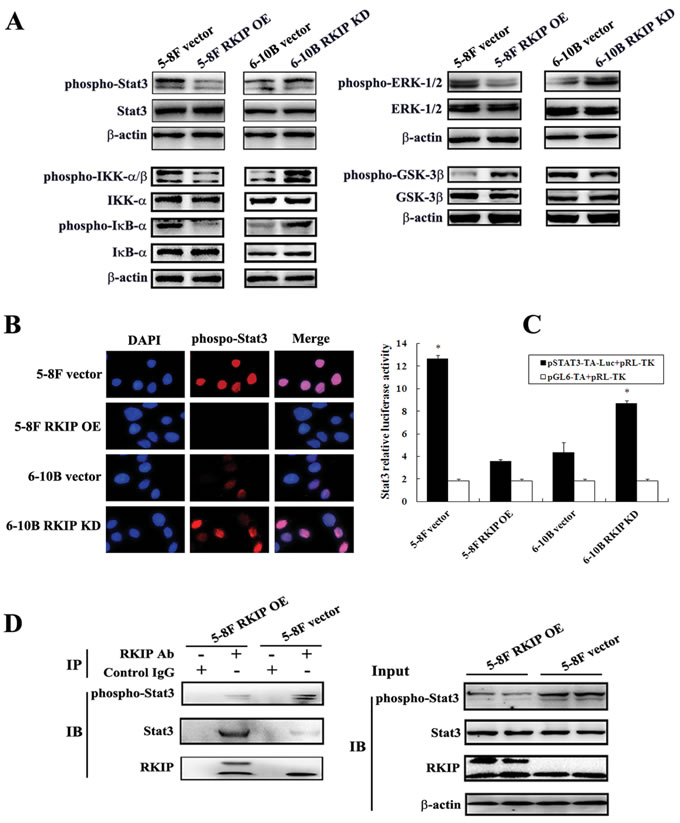 The regulation of RKIP on the activity of NPC cellular signaling pathways.