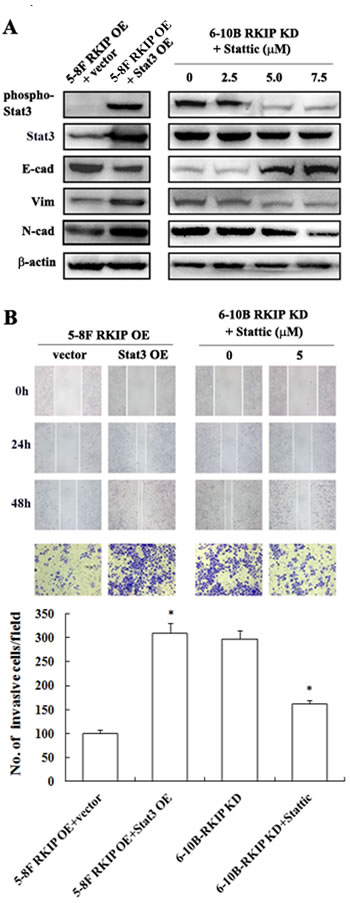 The regulation of RKIP on migration, invasion, and EMT marker expressions mediated by Stat3 signaling in NPC Cells.
