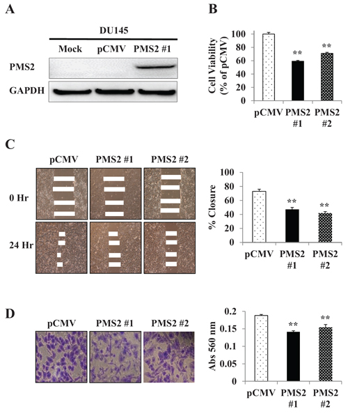 Re-expression and tumor suppressive effect of PMS2 on DU145 cells.