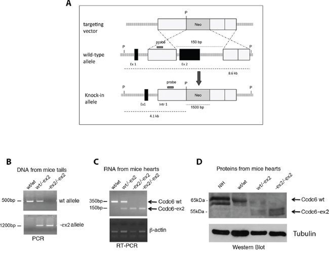 Generation of Ccdc6-ex2/-ex2 knock-in mice.
