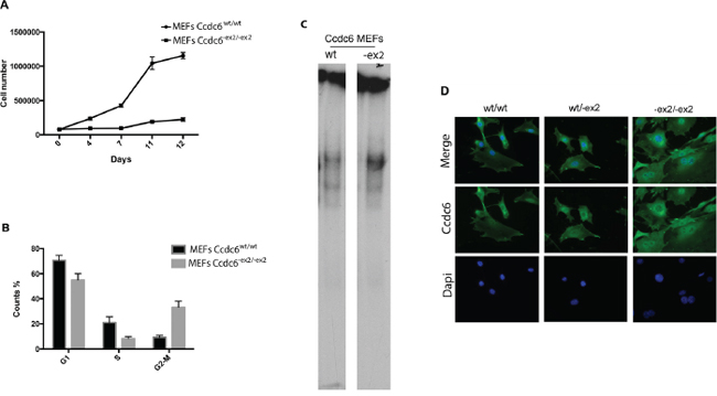 Analysis of Ccdc6-ex2/-ex2 and wt MEF growth.