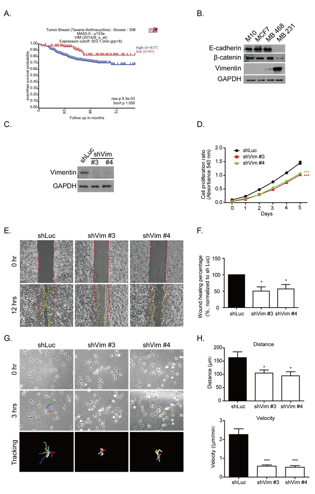 Vimentin expression contributes to breast cancer malignancy.