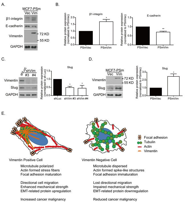 Vimentin mediates slug and EMT-related protein expression.