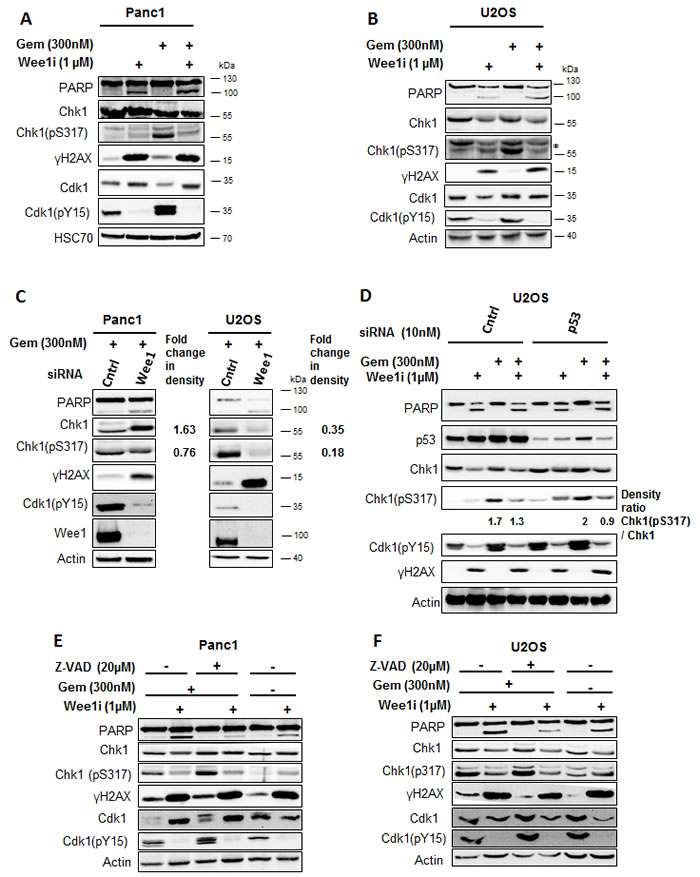 Inhibition of Wee1 decreases the phosphorylation of Chk1 in gemcitabine-treated cells.