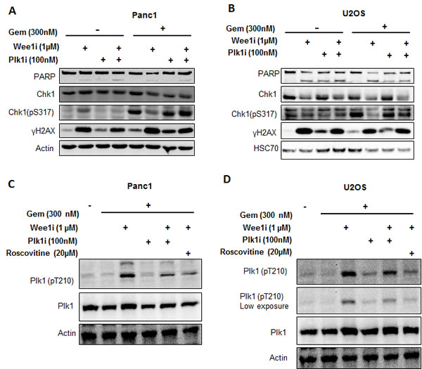 Targeting Plk1 rescues ATR-Chk1 activity in the context of Wee1 inhibition.