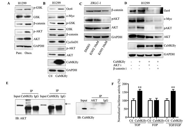 CaMKIIγ enhances stem-like traits in an Akt- and β-catenin-dependent manner.