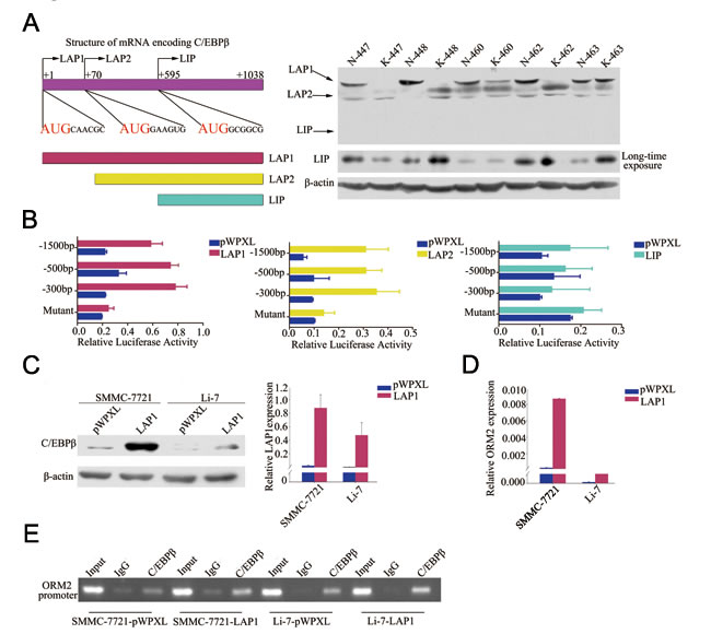 LAP1/2 directly binds to the ORM2 promoter and promotes ORM2 expression in HCC cells.