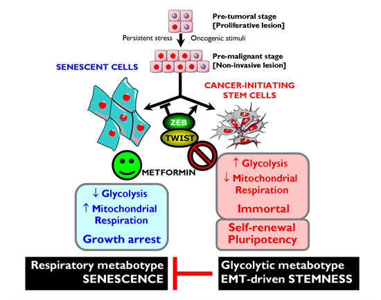 Metformin-targeted EMT and tumor metabolism: Novel strategy against CSCs.