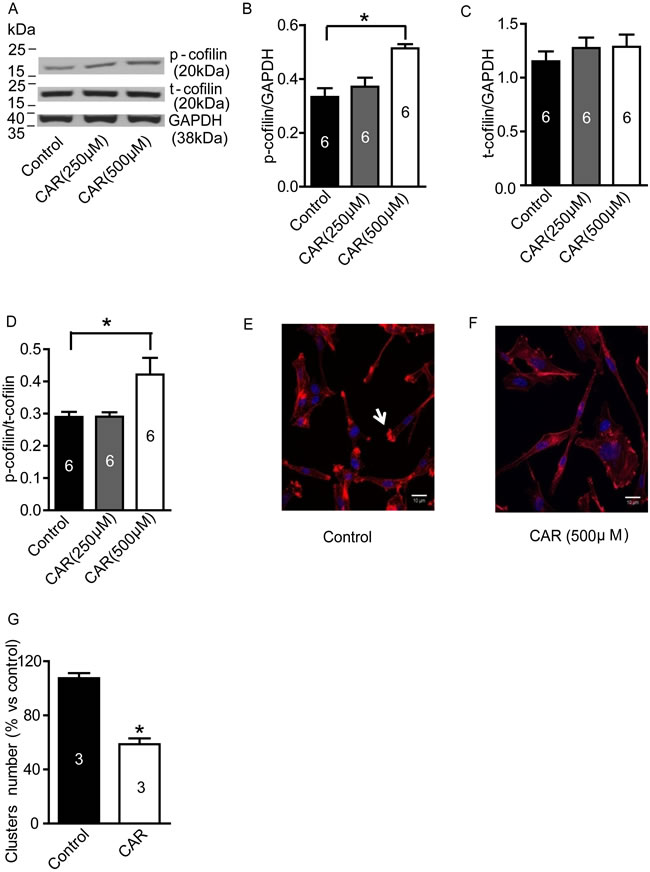 Carvacrol increased p-cofilin level and reduced F-actin polymerization in U87 cells.