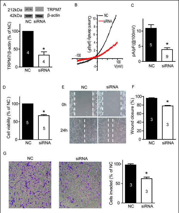Silencing TRPM7 reduced cell viability, migration and invasion.