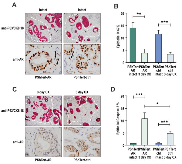 Loss of myofibroblast AR protects cancerous prostatic epithelia from castration induced apoptosis.