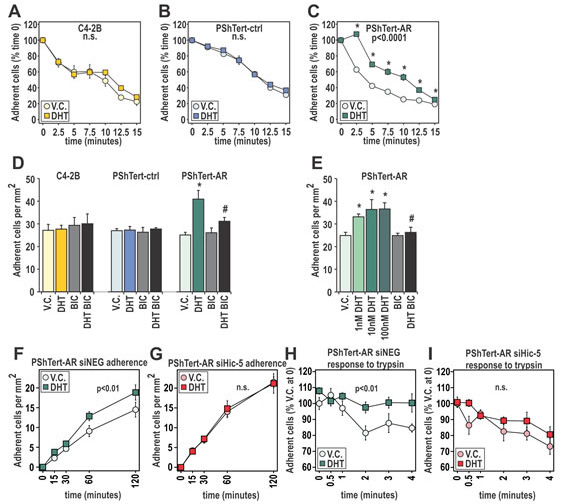 DHT has pro-adherent effects on fast and long term adherence of myofibroblast cells.