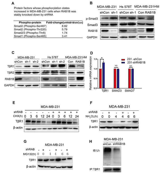 Loss of RAB1B activates TGF-β/SMAD signaling by suppressing TβR1 degradation.