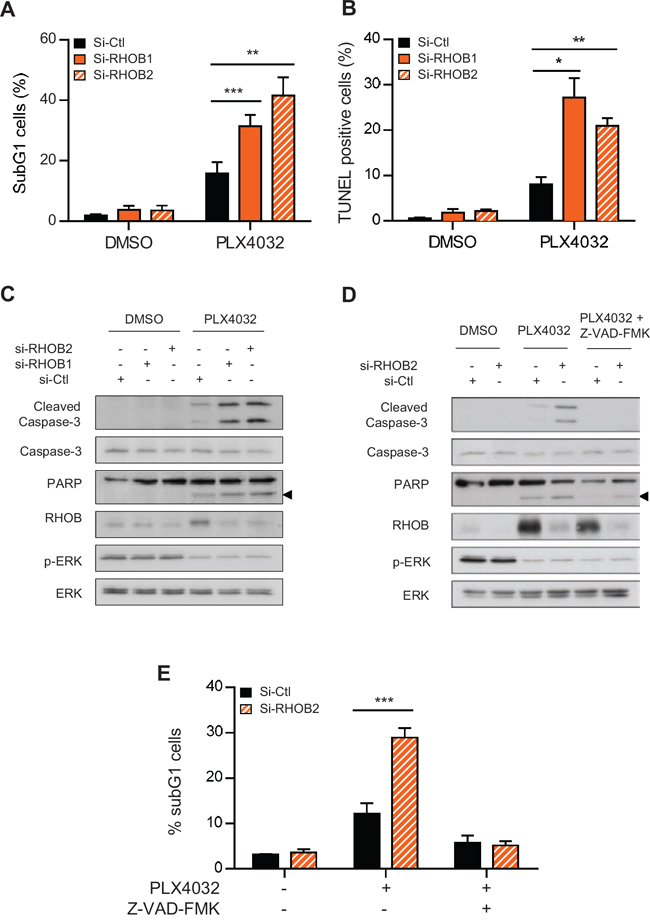Concurrent inhibition of MAPK with RHOB triggers apoptosis.