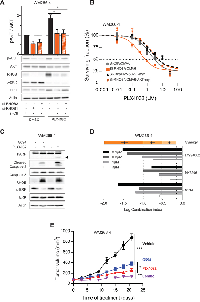 RHOB-mediated resistance to PLX4032 is overcomed by combination with an AKT inhibitor.