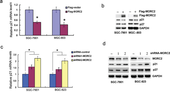 MORC2 down-regulates p21 expression.