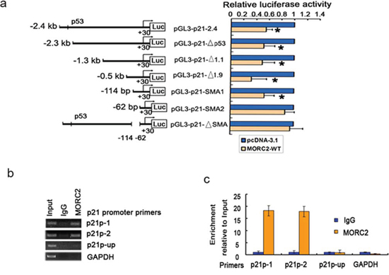 MORC2 can bind to p21 promoter and repress its activity.