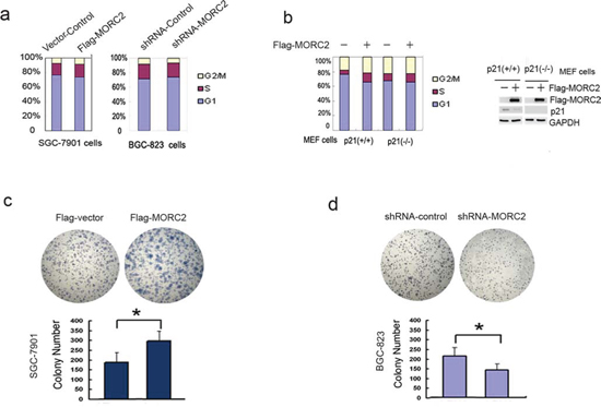 MORC2-mediated p21 repression promotes cell proliferation.