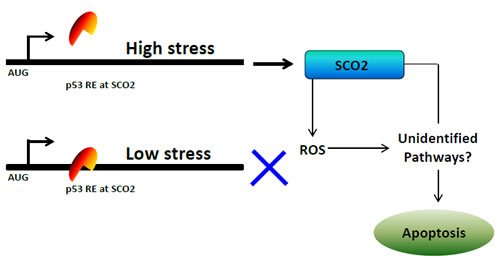 Figure 1b: A model depicting the mechanism of p53-mediated regulation of SCO2 gene in cancer cells.