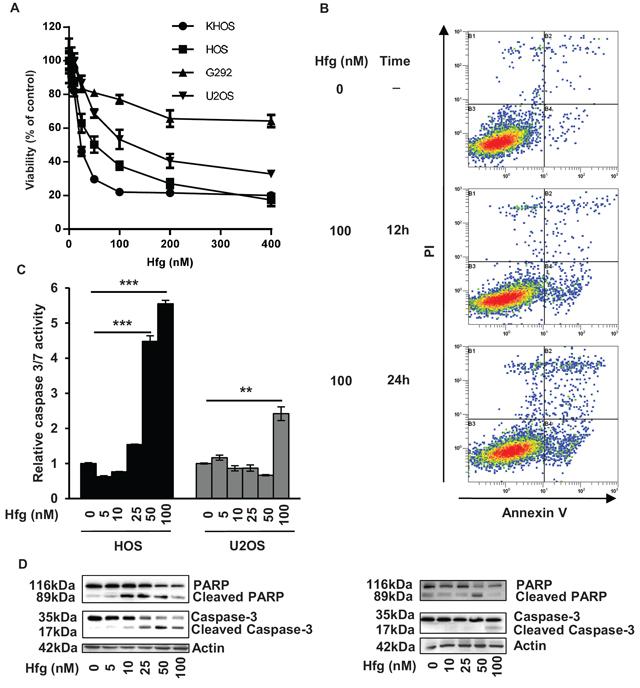 Halofuginone induces osteosarcoma cell death in vitro.