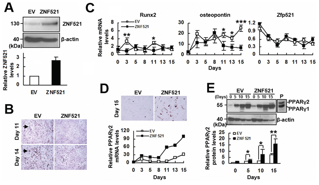 The effect of ZNF521 overexpression on the osteoblastic differentiation of C3H10T1/2 cells.