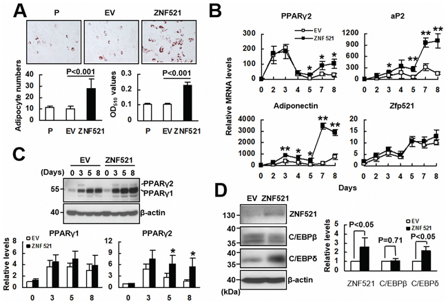 The effect of ZNF521 overexpression to the adipogenic differentiation of C3H10T1/2 cells.