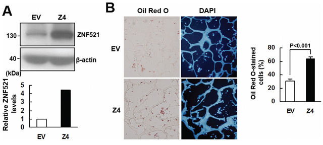 ZNF521 overexpression promoted adipogenic differentiation of C3H10T1/2 cells ex vivo.