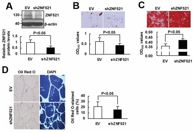 The effect of ZNF521 knockdown on the lineage differentiation of human bmMSCs.