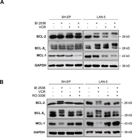 Mitotic arrest inactivates antiapoptotic BCL-2 proteins.