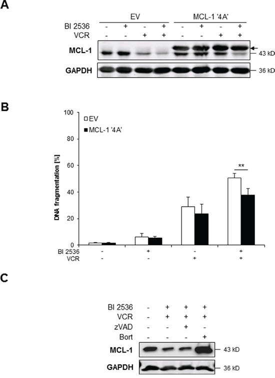 BI 2536/VCR-mediated downregulation of MCL-1 contributes to apoptosis.